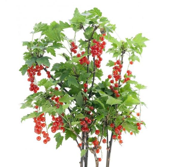 Саженцы плодовых деревьев и кустарников